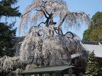 枝垂れ桜001.JPG